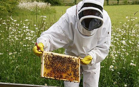 Person in bee keeper suit, holding a panel of bees making honey.